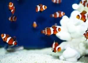 Orange Ocellaris Clownfish