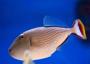 Lineopunctatus Triggerfish