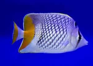 Pearlscale Butterflyfish