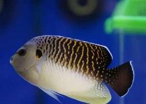 Tiger Angelfish