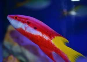 Cuban Hogfish