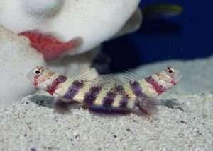Wheeler's Shrimp Goby
