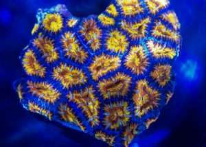 Rainbow Acan Lord