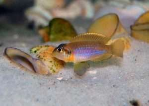 Gold Ocellatus
