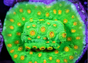 Neon Green and Yellow Cyphastrea Frag