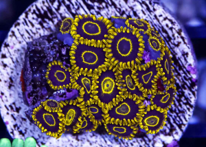 Ultra Purple and Gold Zoanthid Frag