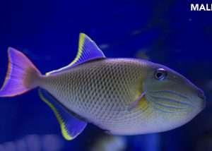 Crosshatch Triggerfish *PAIR*