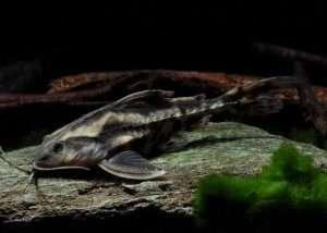 Megalodoras Irwini Talking Catfish (6″)