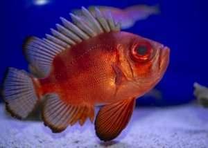 Big Eye Catalufa Soldierfish