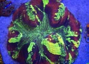 Ultra Splatter Welso (Green)
