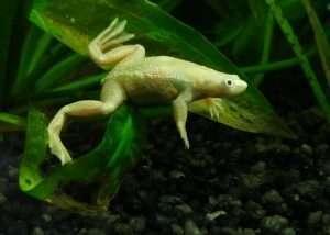 Leucistic African Dwarf Clawed Frog